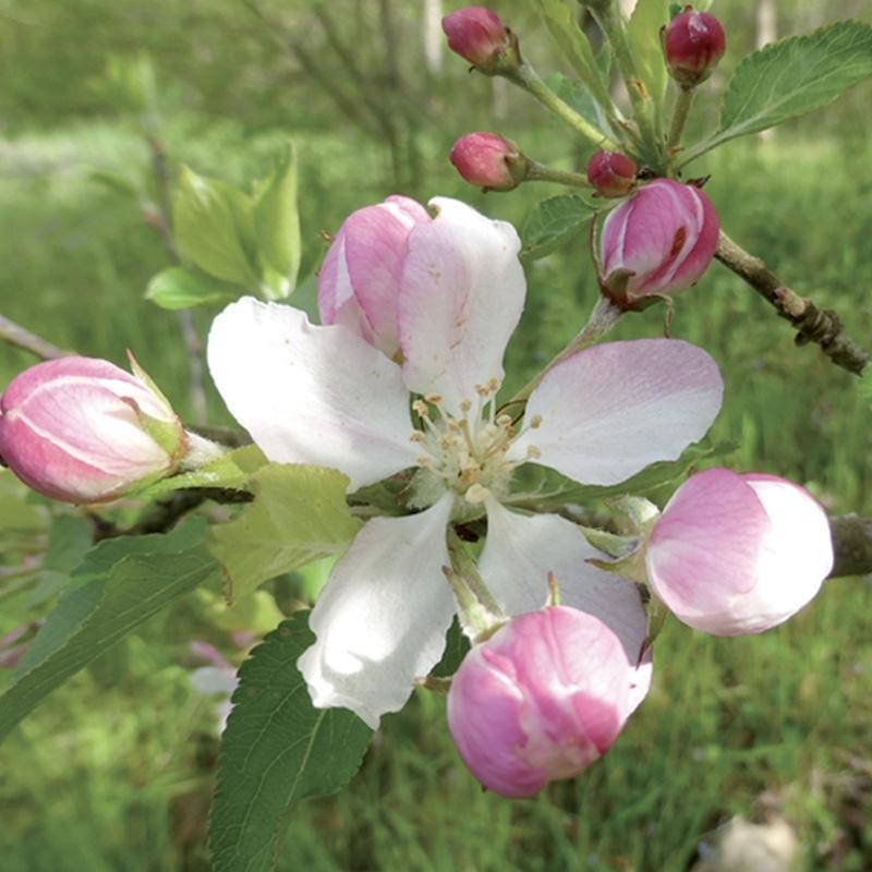Eglantine wild rose 3