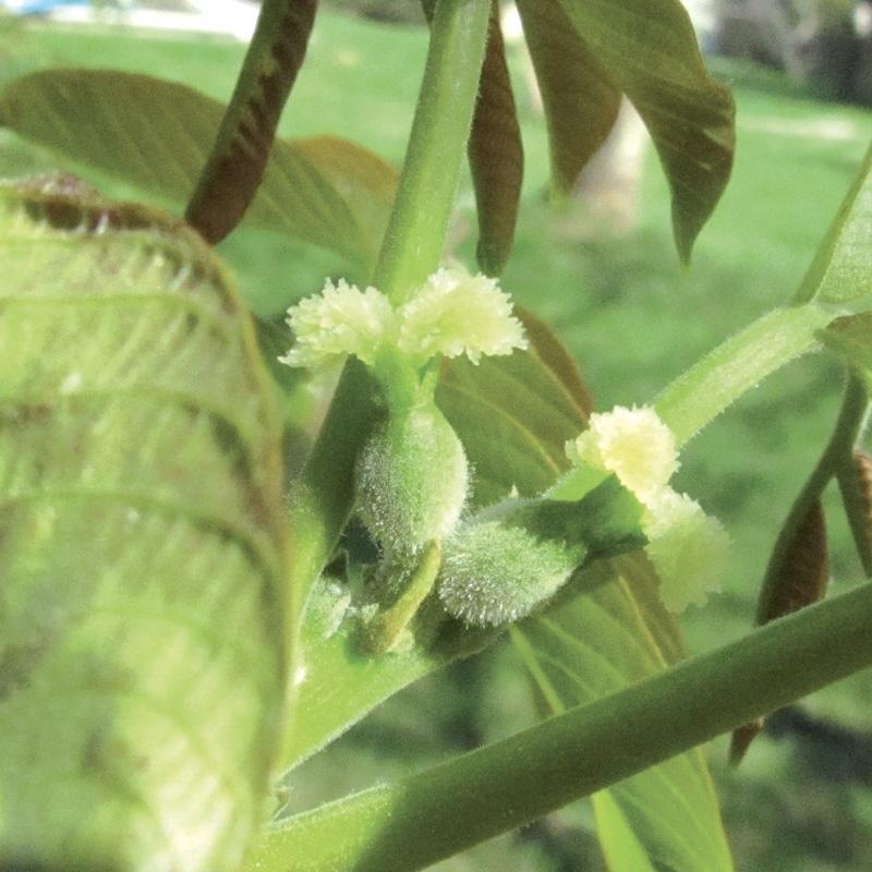 Noyer walnut 3