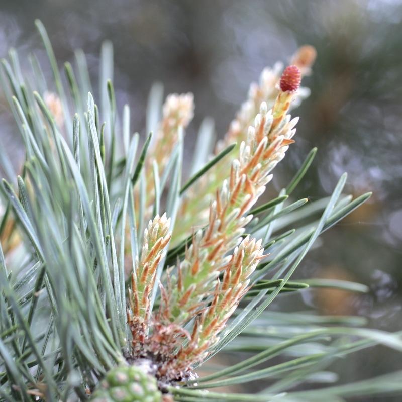 Pin pine 3