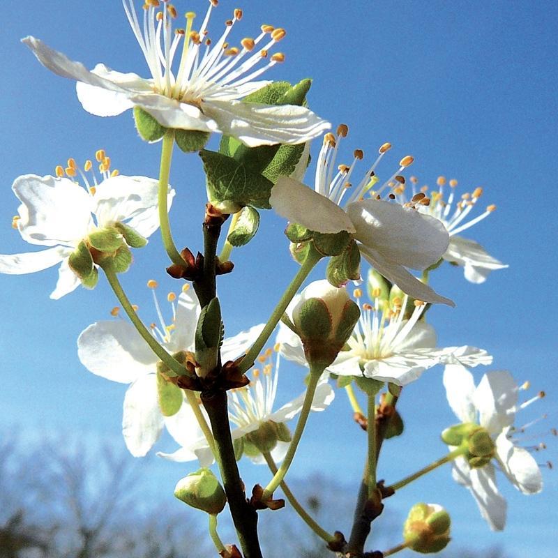 Prunus cherry plum 3